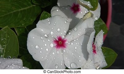 White Flower after Rain