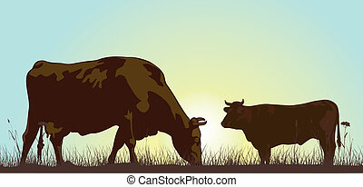 grazing cattle in the morning - cattle grazing on a meadow -...