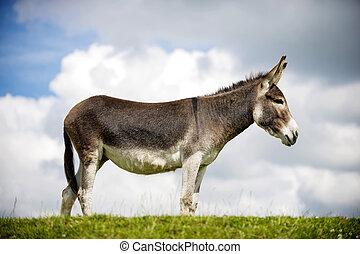 Norfolk Broads, Donkey standing on grass, profile view
