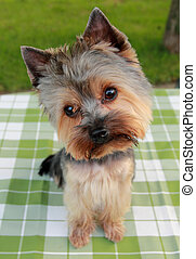 1 year old Yorkshire Terrier in front on ,after cutting the...