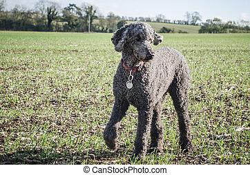 Standard Poodle in Large Field