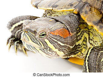 Pseudemys scripta elegans - head and face of a turtle -...