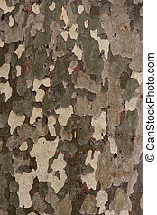 Tree bark texture, plane-tree background