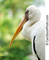 Stork bird close up