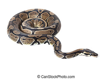 Royal Python, or Ball Python in studio against a white...