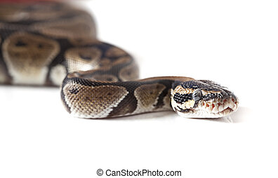 Portrait of python snake - Python snake close-up isolated on...