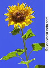 Sunflower on background sky - The image of a sunflower on...