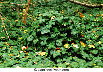Green ivy - Many leafs of ivy cover a wall