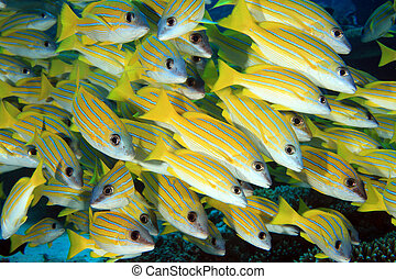 Bluestripe snappers in the coral reef