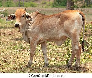 brahman, vaquita, joven, carne de vaca, ganado