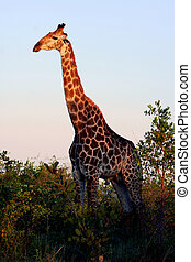 Giraffe - A giraffe in the wild, this shot was taken in the...