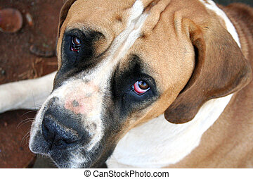 Big Dog , Sorry face - Boerbull breed , big brown and white...