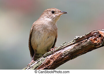 House Wren On A Stump - House Wren Troglodytes aedon on a...