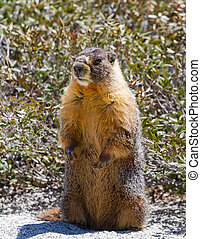 Yellow bellied marmot - Marmot standing upright in yosemite