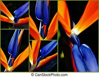 stelitzia reginae - Collage of stelitzia reginae flowers