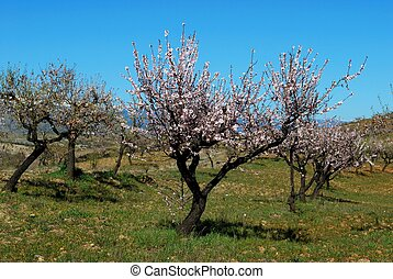 Almond trees in blossom, Spain.