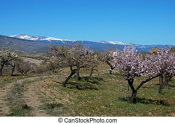 Almond trees in blosso, Spain.
