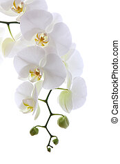 branca, orquídea, isolado, branca