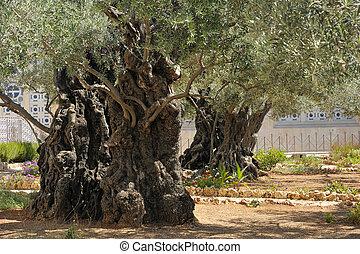 Garden of Gethsemane on the Mount of Olives