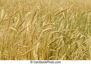 Grain field background