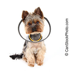 Sick Yorkshire Terrier wearing a funnel (protective) collar,...