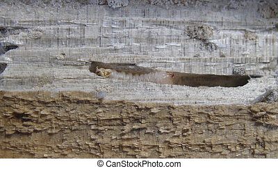 Larvae in Wood - Wood borer in a gallery infesting solid...
