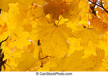 old foliage. autumn - the old turned yellow foliage being on...