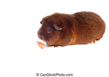 guinea pig - small, brown, pet guinea pig nibbling on a...
