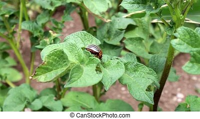 potato beetle decemlineata
