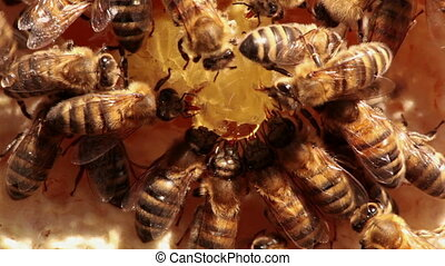 bees - honey bees