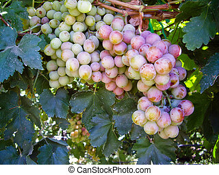Bunch of ripening grapes on the vine - Bunch of red grapes...