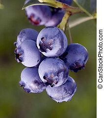 The heathberry - Fresh heathberries/ blueberries ripening on...