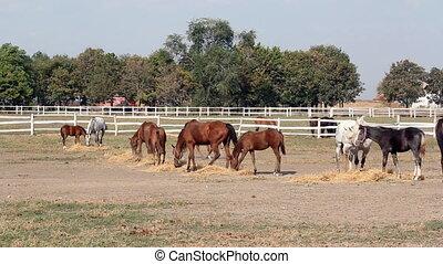 herd of horses eating hay ranch