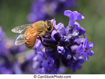 Bee on Lavender Flower - A honey bee gathering pollen on a...