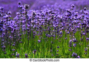 Lavender Field - A Field of beautiful lavender blossoms in...