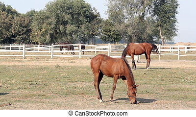 horses grazing in corral