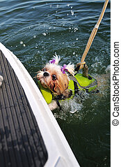 Shih Tzu Puppy Rescue - Shih Tzu Puppy, wearing a life...