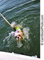 Shih Tzu Puppy Rescue