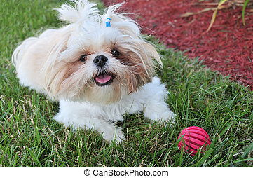 Shih Tzu Puppy sitting in the grass with her red ball toy.