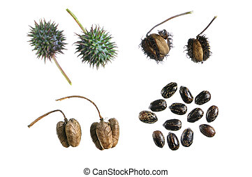 Castor bean propagation cycle - Four stages of seed...