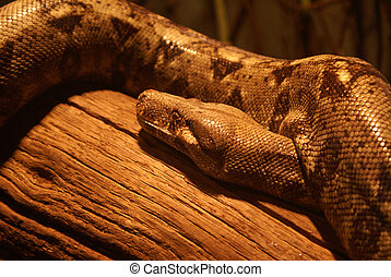 Python - The head and body of a Python resting on a log