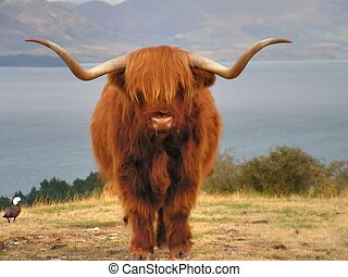 Yak, long-haired ox of Tibet .Deer park, New Zealand