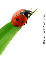 ladybird on green leaf isolated on a white background...