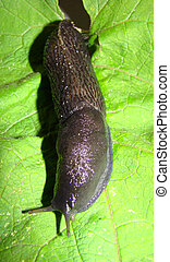 Black slug (Limax cinereoniger). Differs in the big sizes,...