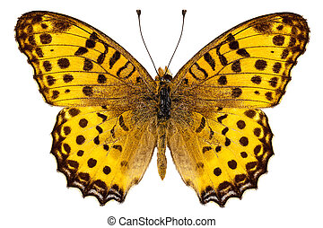 "Butterfly species Argynnis hyperbius ""Indian Fritillary"" in..."