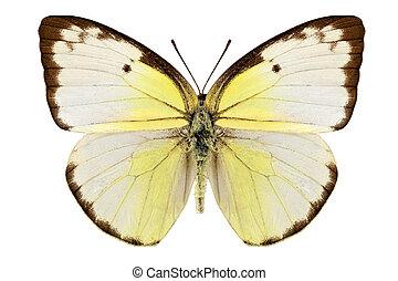 Butterfly species Catopsilia pomona quot;Lemon Emigrantquot;...