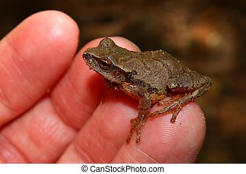 Spring Peeper Pseudacris crucifer sits on a persons finger...