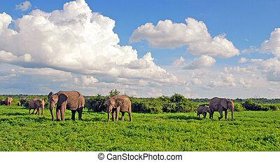 savanne, Elefanten, familie, afrikanisch