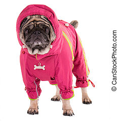 A clothed pug - A pug clothed in the overalls with a hood
