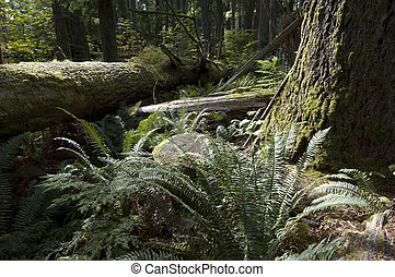 Primeval - MacMillan Forest in the Vancouver Island -...